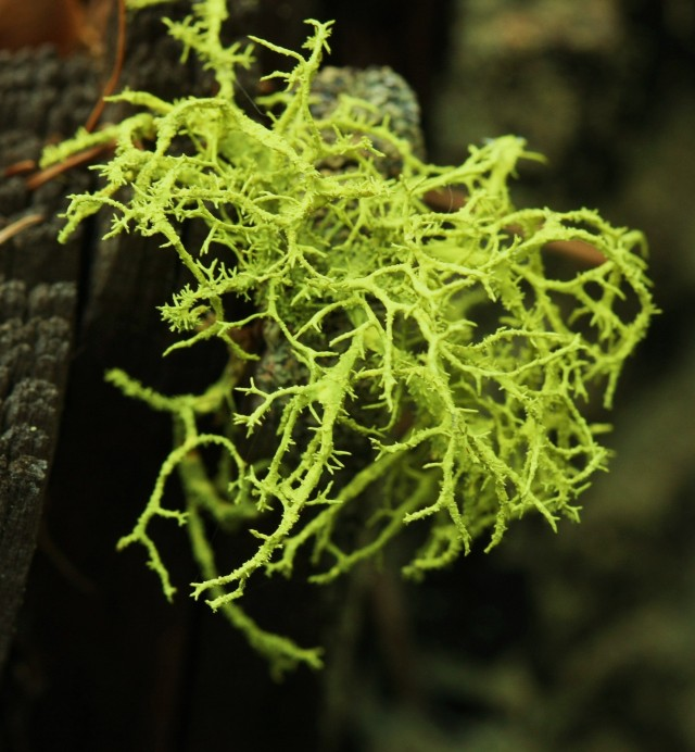 I'm liking this lichen. This type of lichen is always this vivid green.