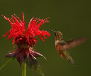 The hummingbirds loved the bee balm
