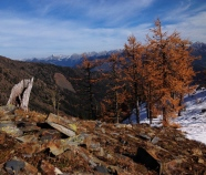 Alpine larch in golden color